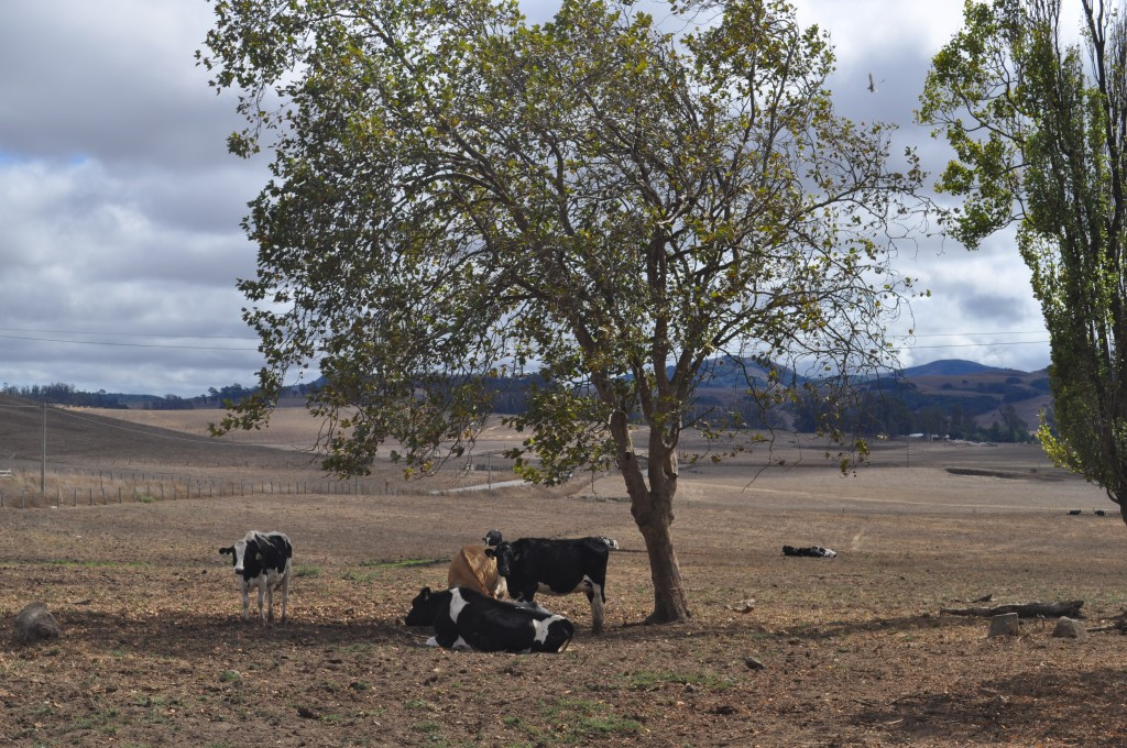 Dairy cows on California drought-stricken pasture