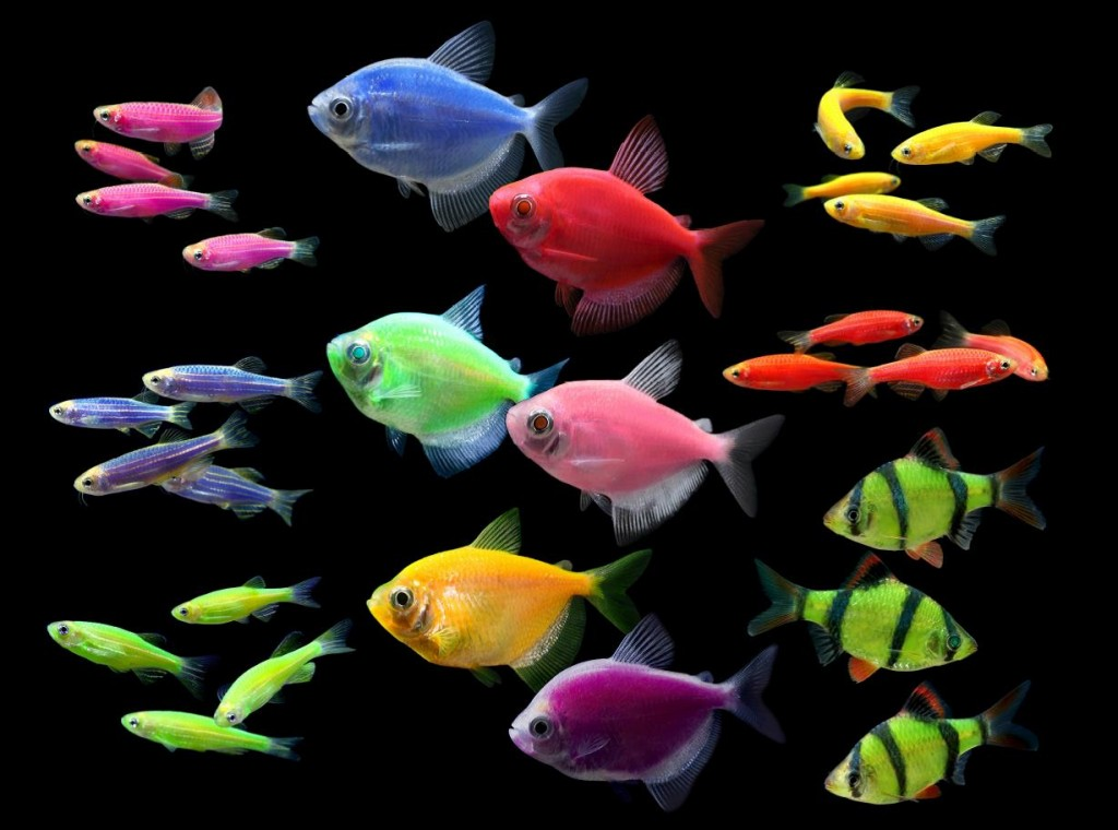 GloFish Fluorescent Fish Group Photo with NEW Striped Green Barb